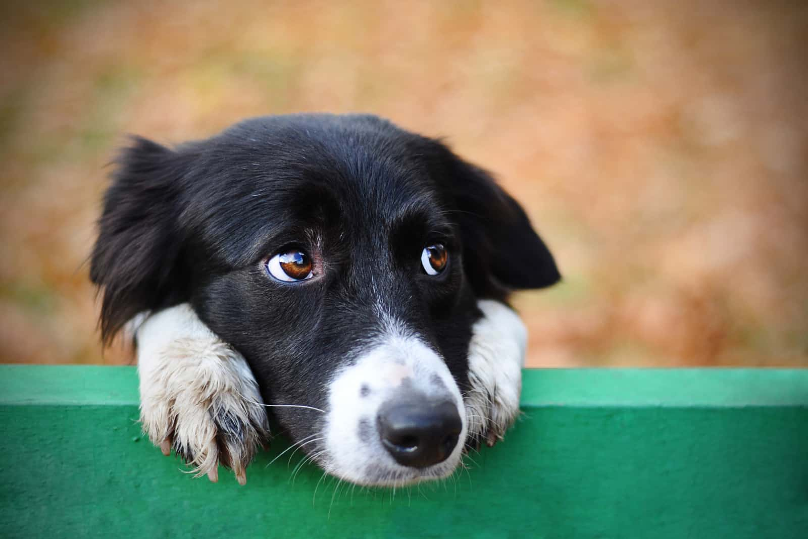Skeptischer trauriger Border-Collie-Hund, der denkt