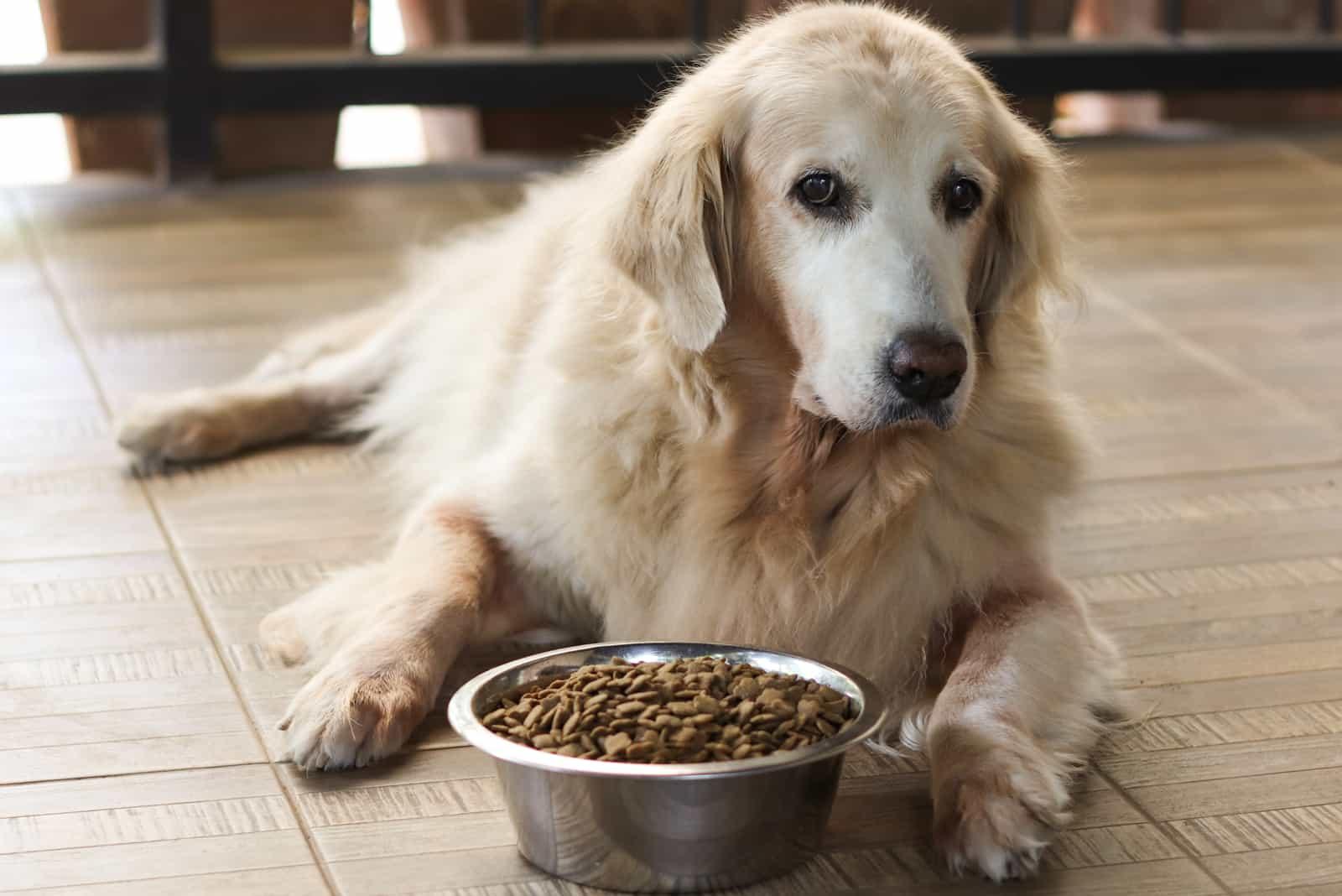 Trauriger Golden Retriever Hund langweilen sich vom Essen