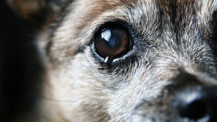 Warum Treten Tränende Augen Beim Hund Auf? – Über Ursachen Und Probleme