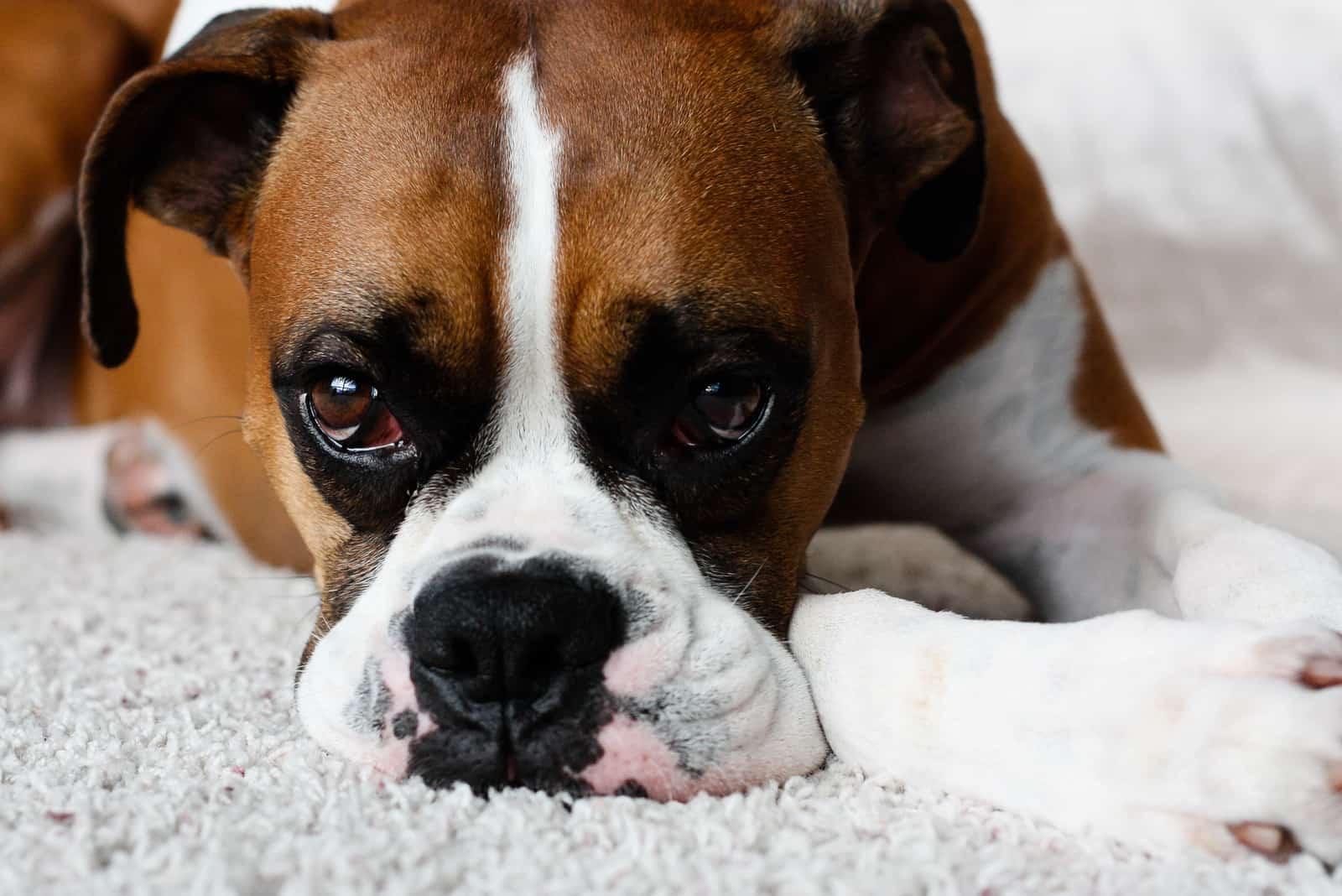 Weiblicher reinrassiger Boxerhund sieht traurig aus, während er drinnen in die Kamera starrt.