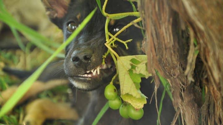 Weintrauben Hund – Darf ein Hund Weintrauben essen?