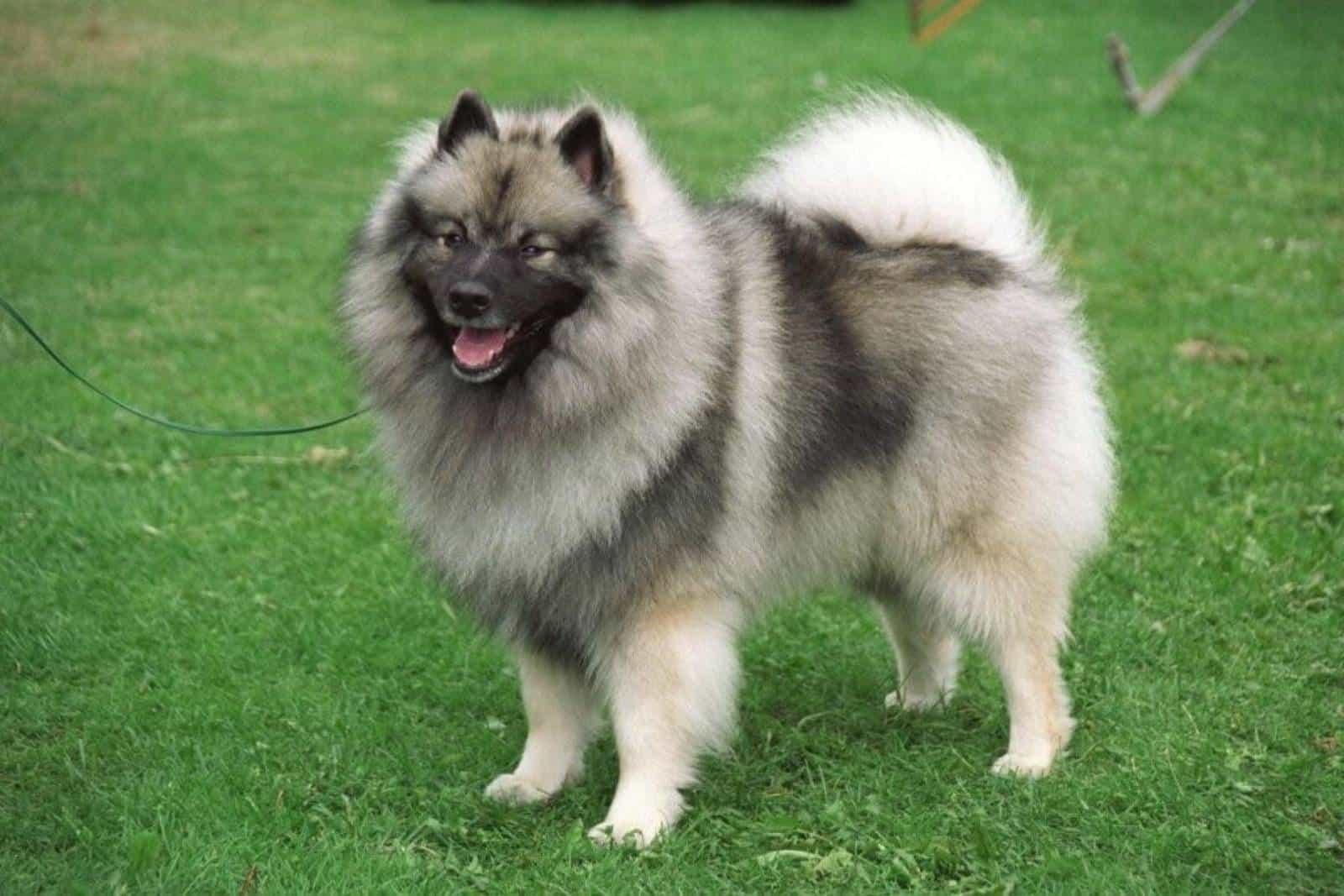 Wolfspitz pommerscher Hund