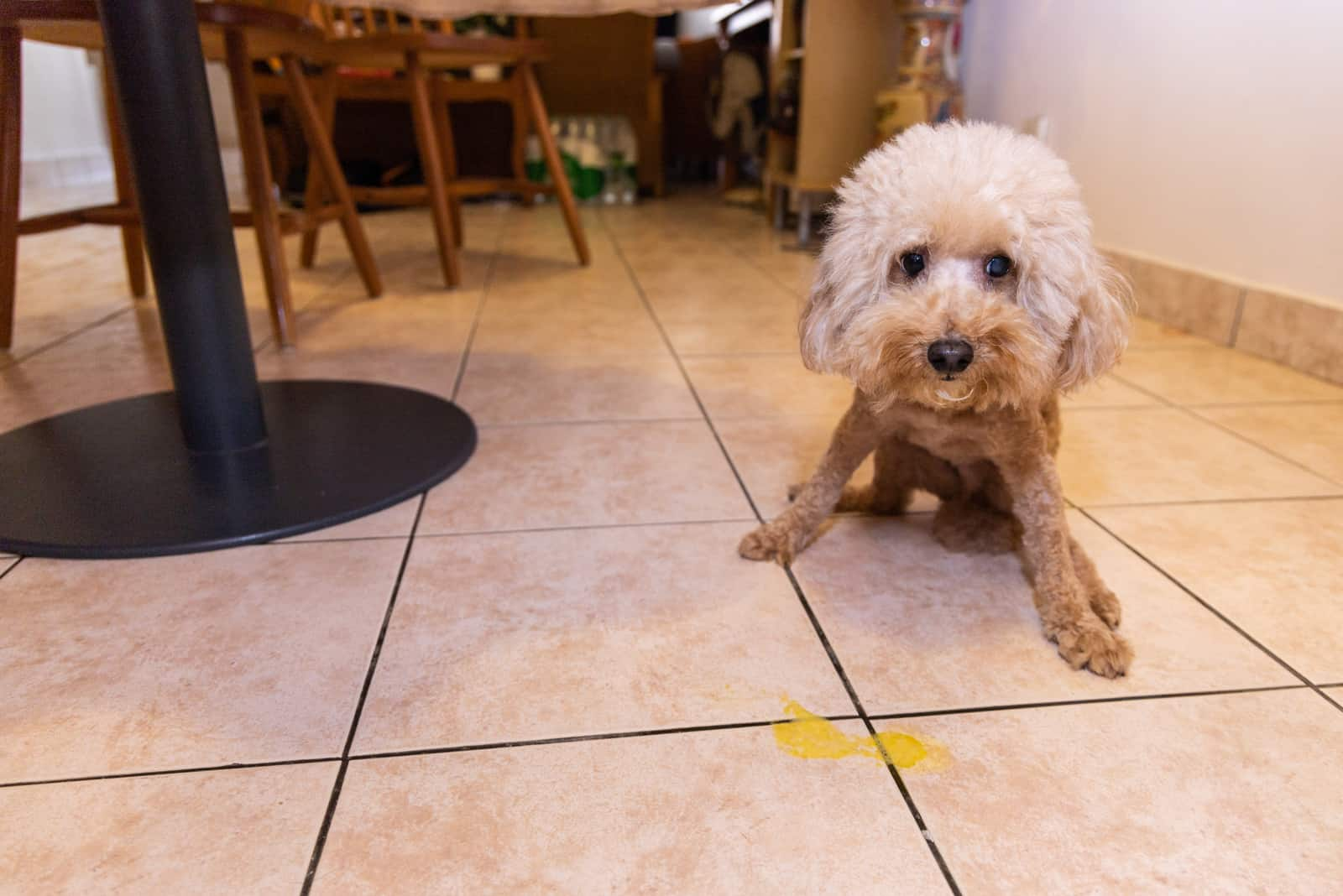 Zwergpudelhund erbricht gelbe Substanz, die vermutlich Galle ist