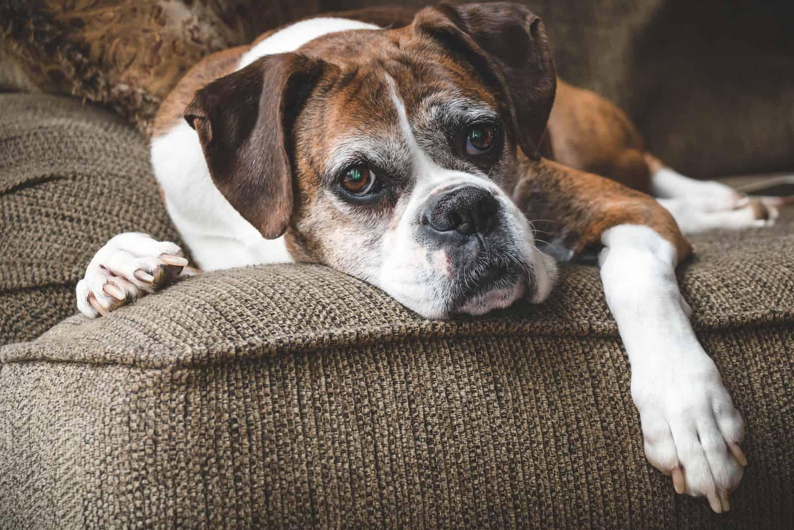 alter Hund liegt auf der Couch