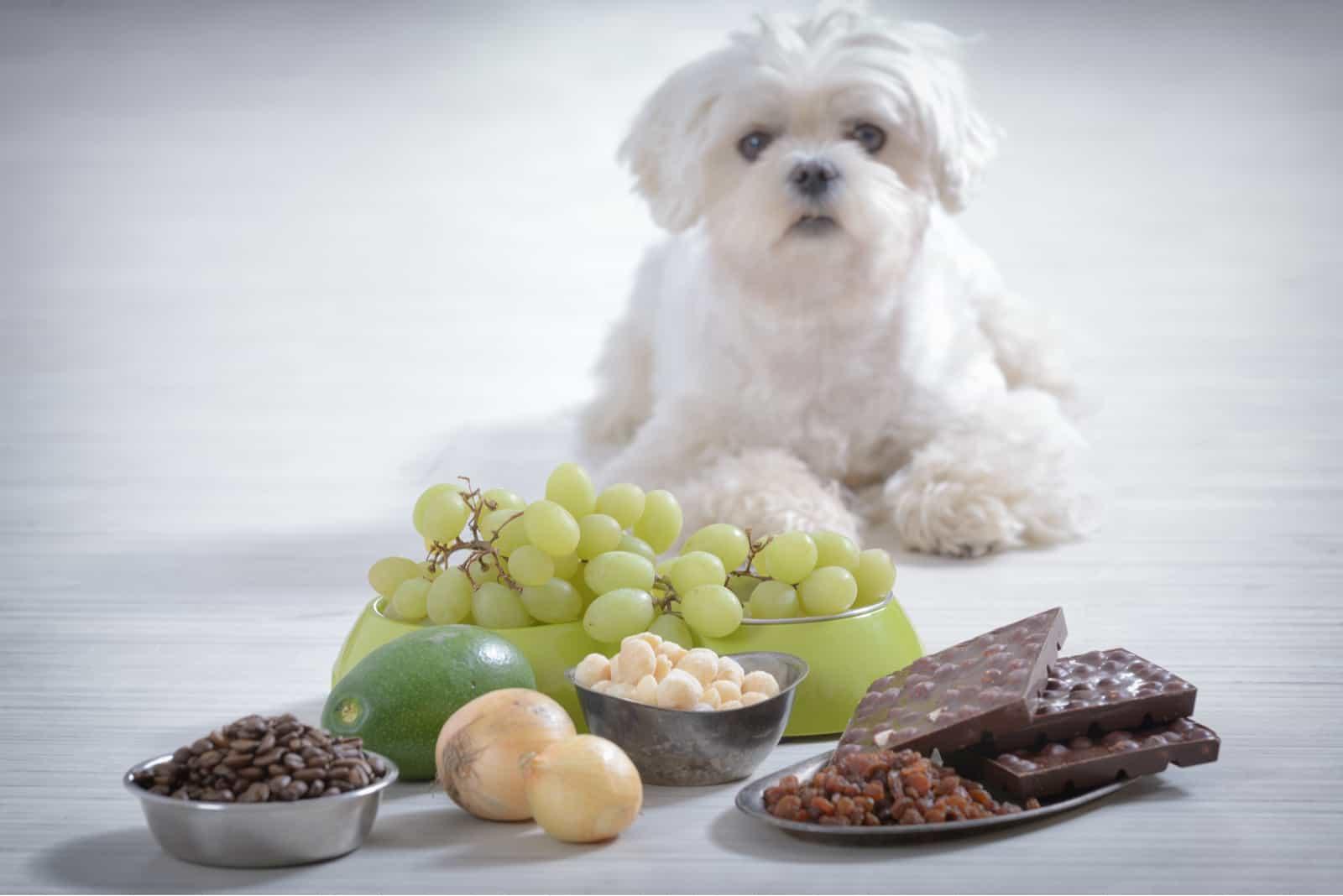 ein weißer Pudel neben Lebensmitteln, die Hunden verboten sind