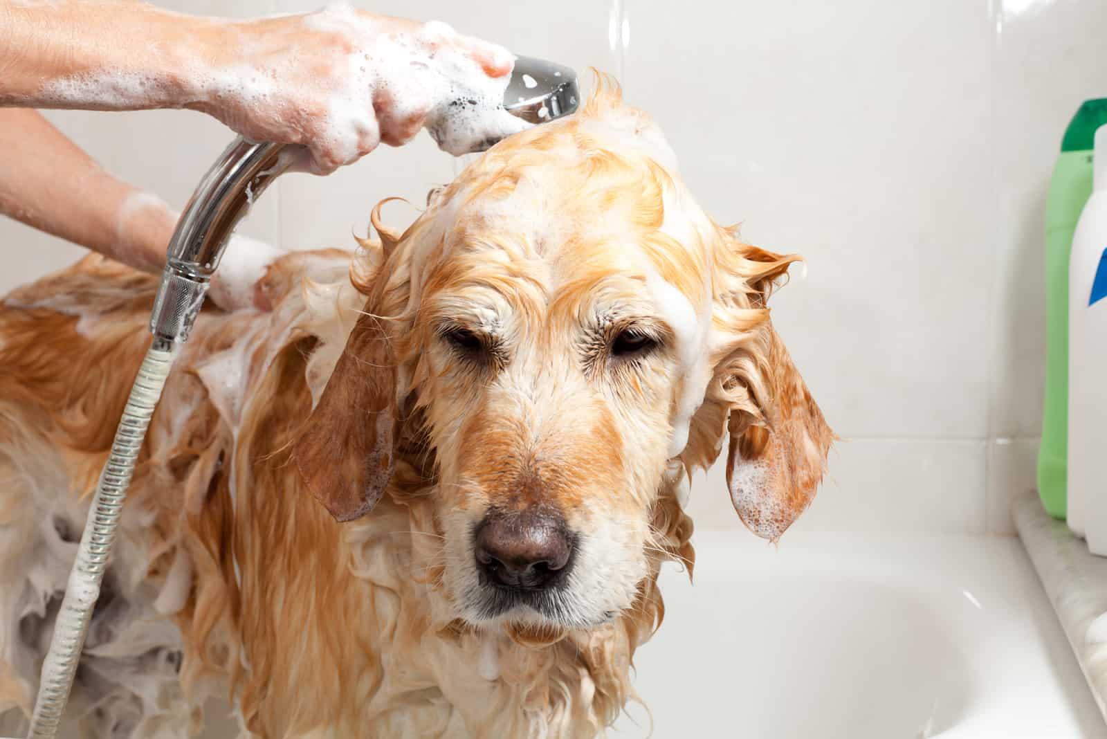 eine Frau, die einen Golden Retriever duscht