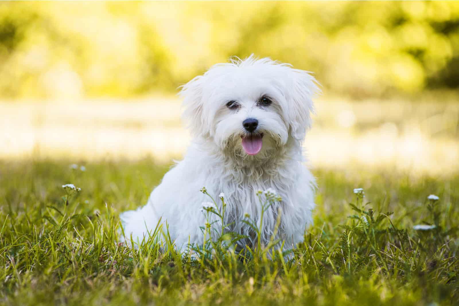 maltesischer Hund auf einer Wiese
