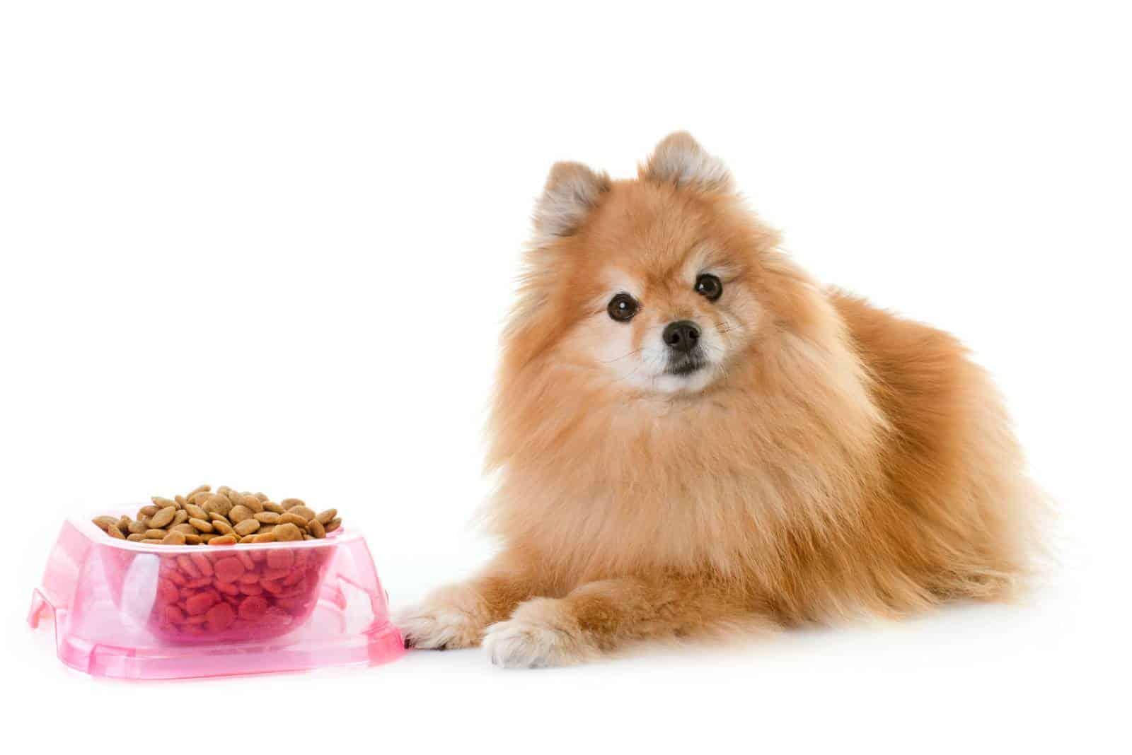 pommerscher Hund, der vor dem Futter aufwirft