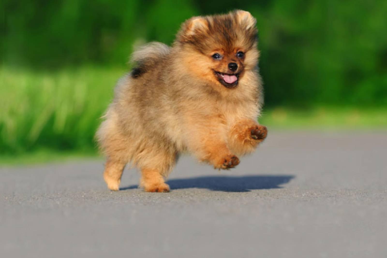 pommerscher Hund läuft