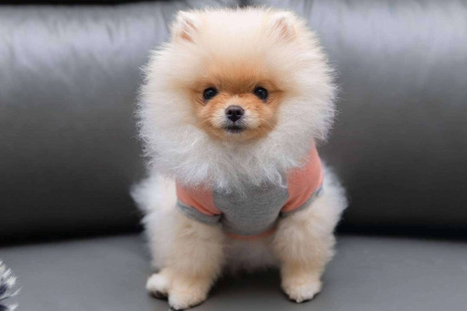 pommerscher Hund mit Fell