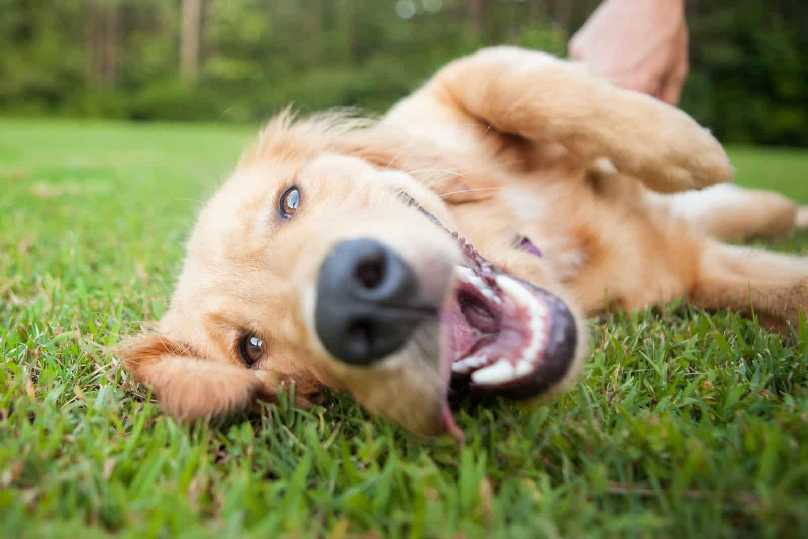 schöner Hund rollt draußen herum