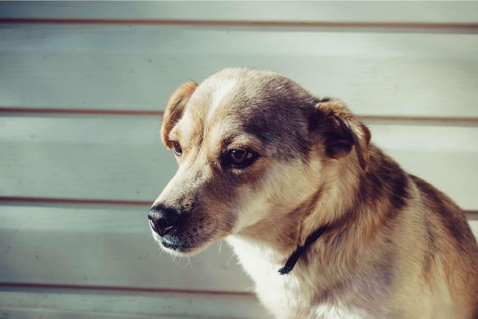 trauriger Hund, zur Seite schauend