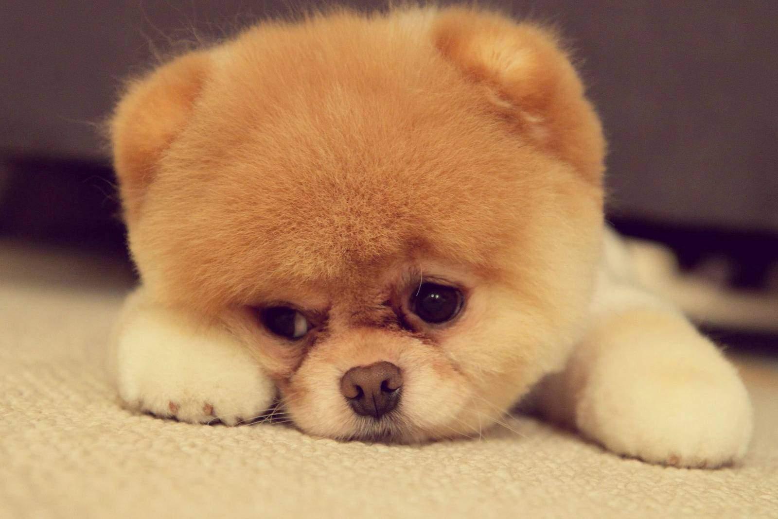 trauriger pommerscher Hund