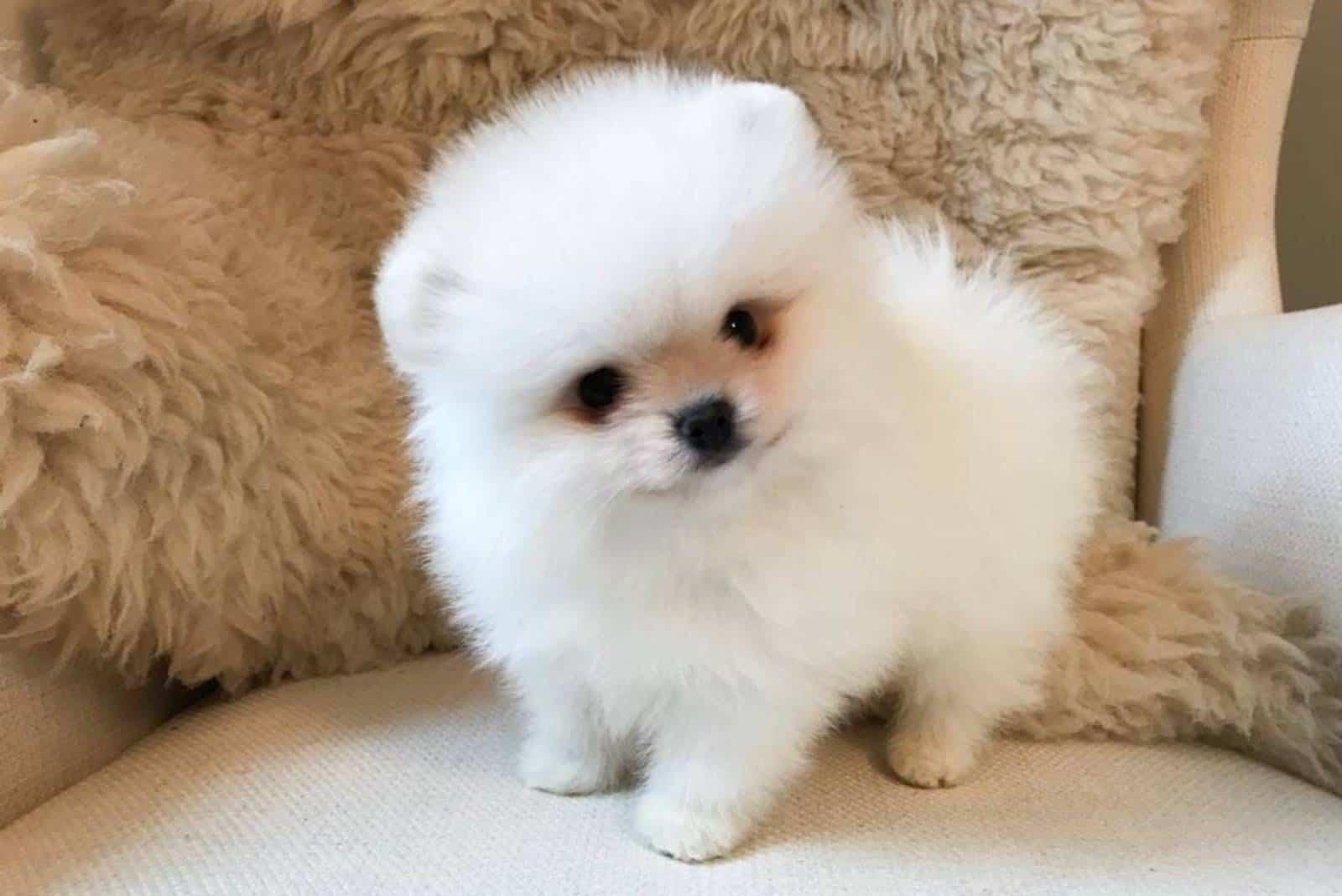 weiße Pomeranian Welpen