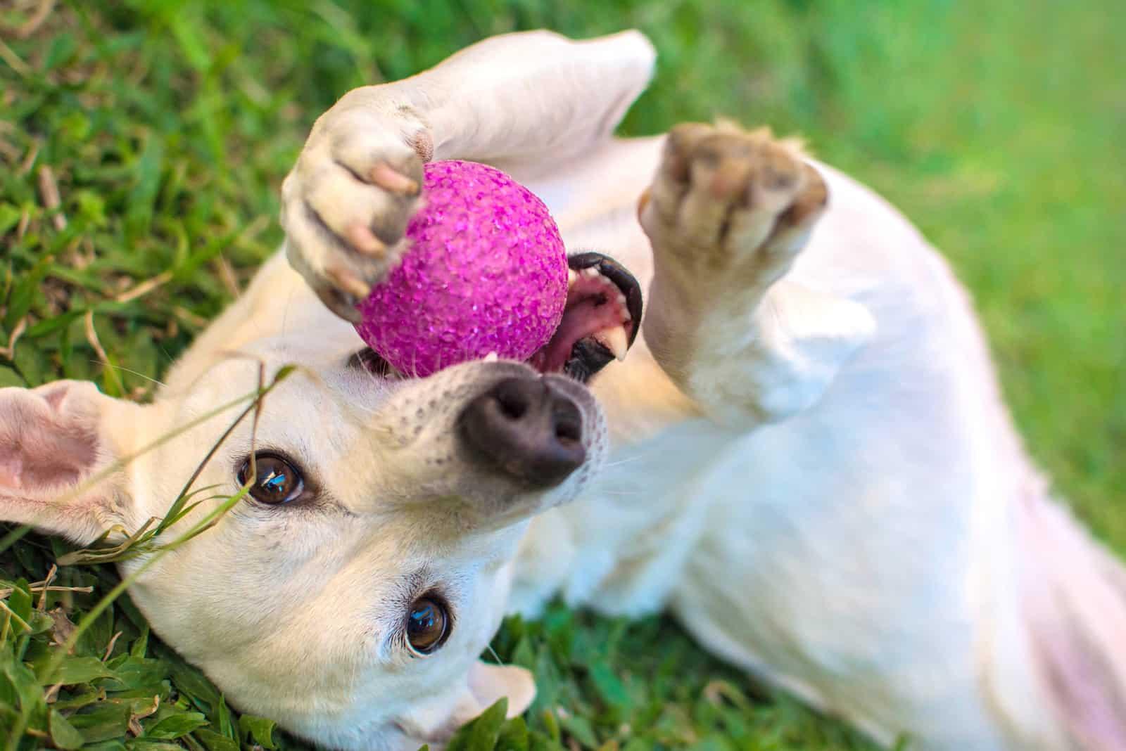 weißer Hund spielt mit Ball