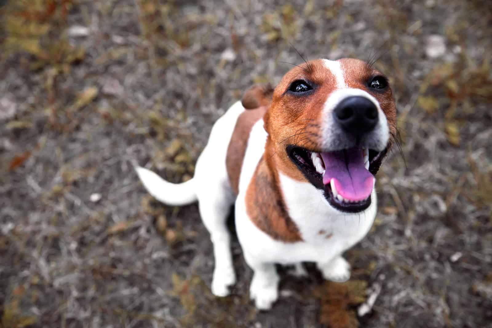 zufriedener Hund Jack Russell Terrier sitzt auf dem Boden