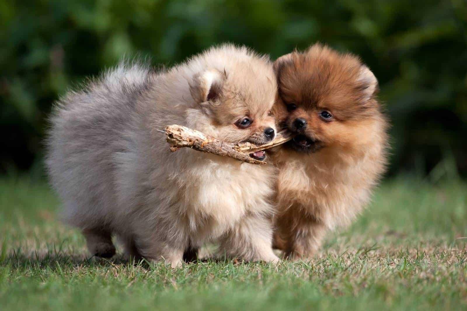 zwei pommersche Hunde spielen draußen