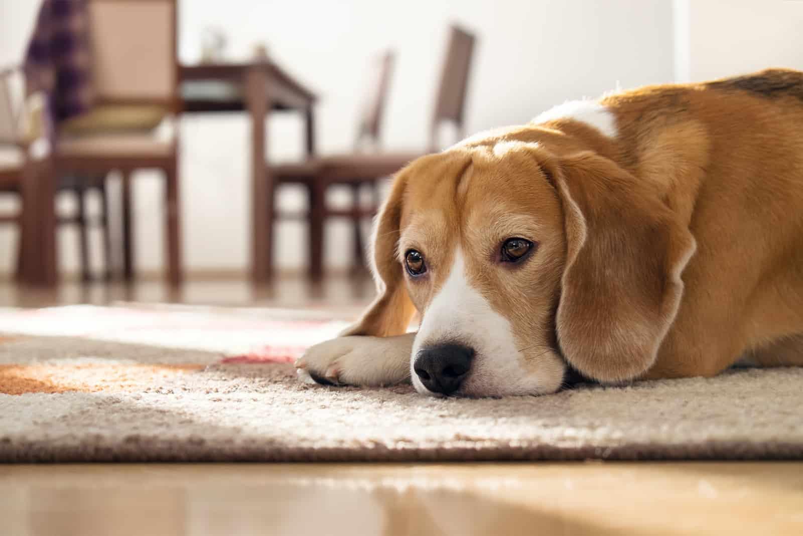 Beagle-Hund, der auf Teppich in gemütlichem Haus liegt