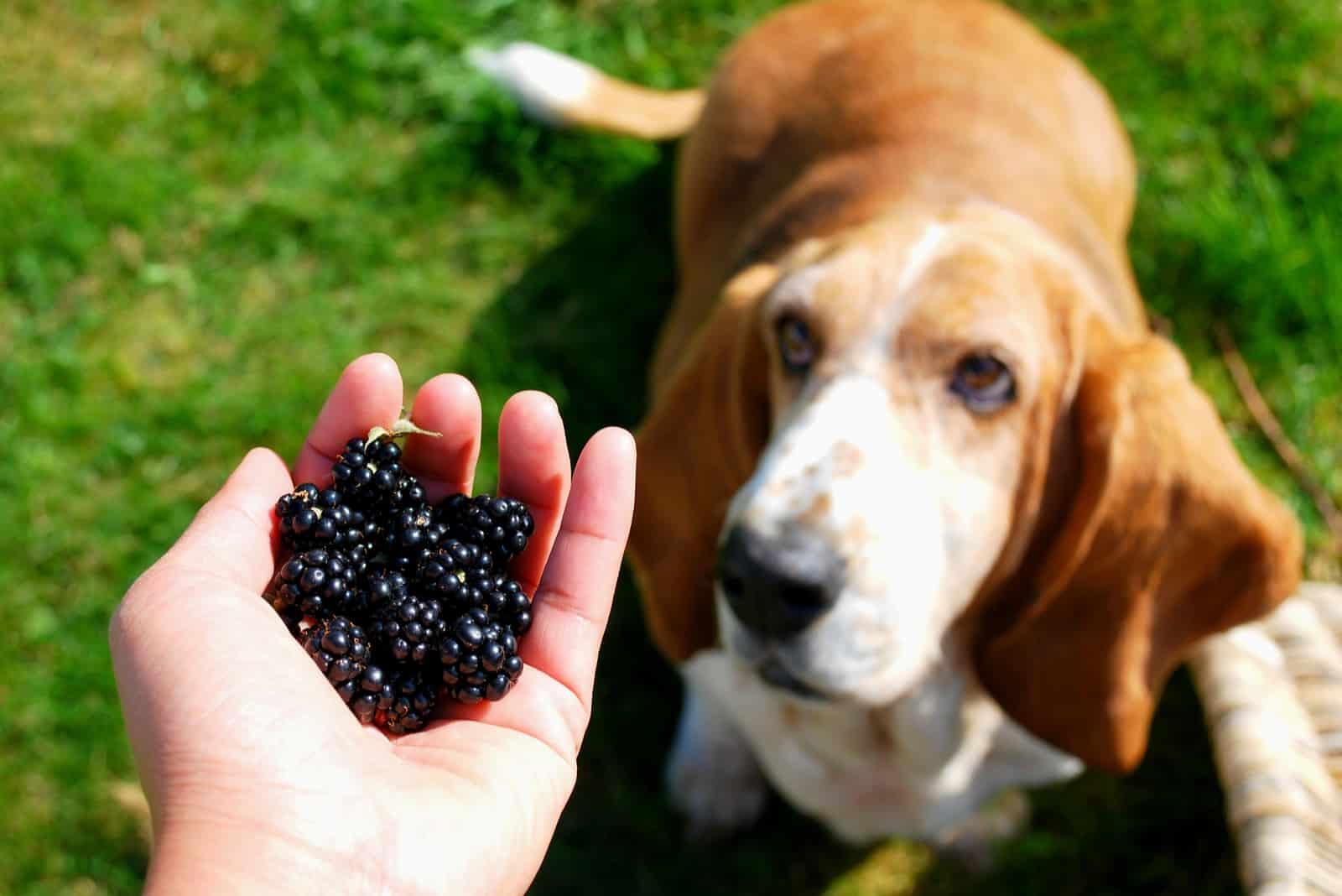 Blackberry in der Handshow eines Mädchens für ihr Vermögen