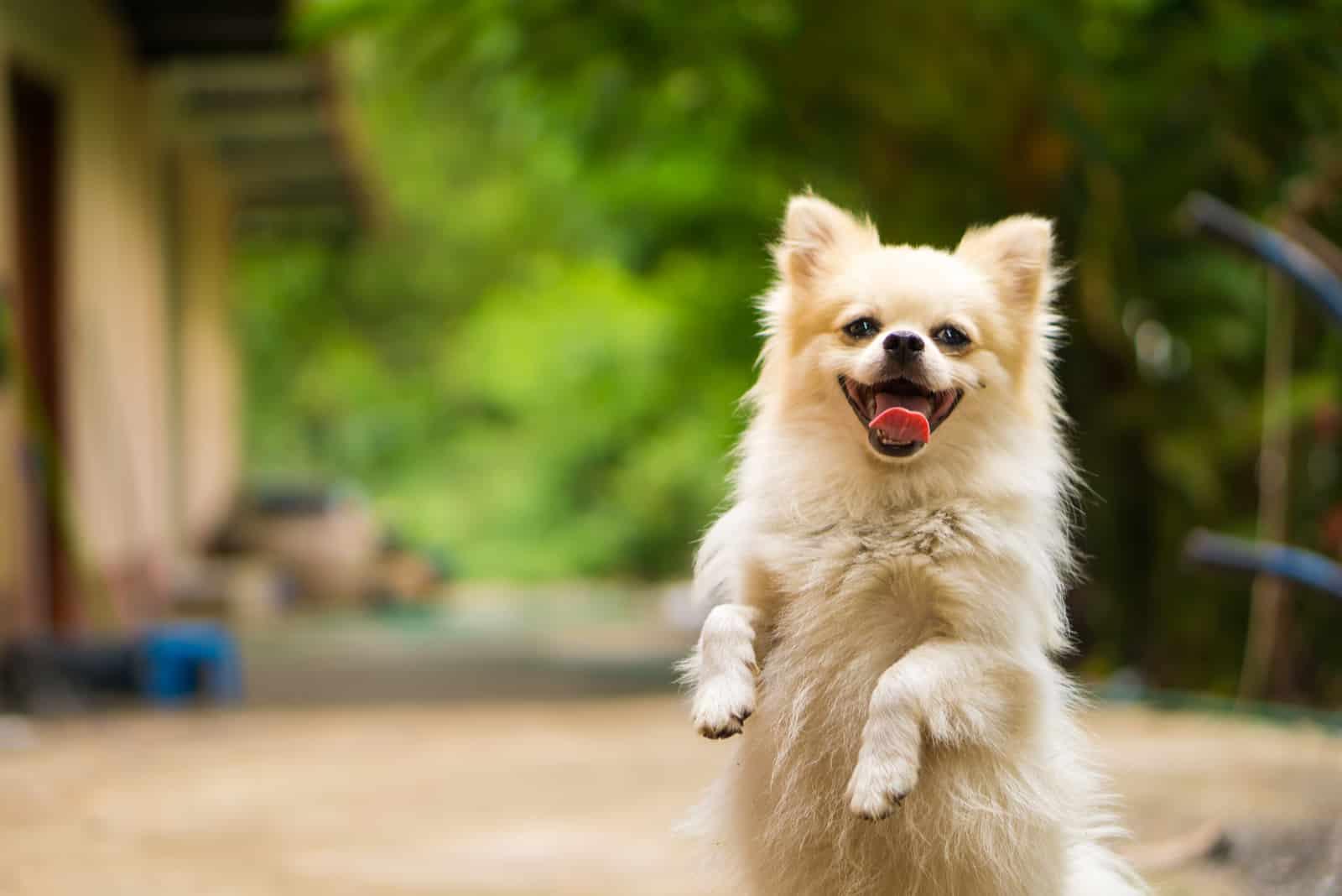 Der glückliche Hund steht auf seinen Hinterpfoten