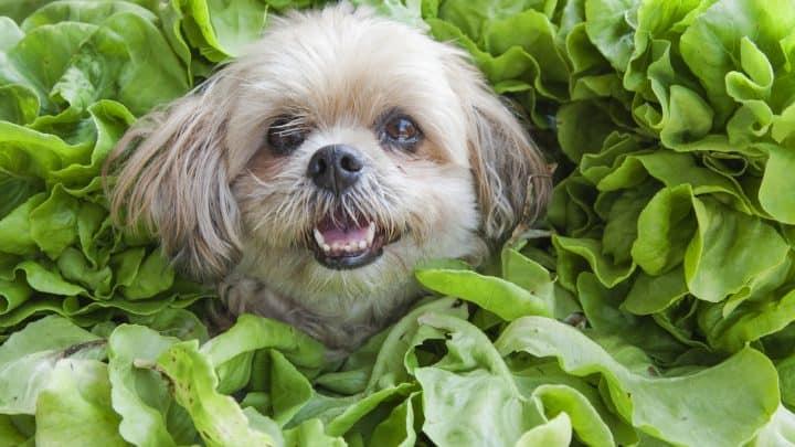 Dürfen Hunde Spinat essen? Ja und Nein