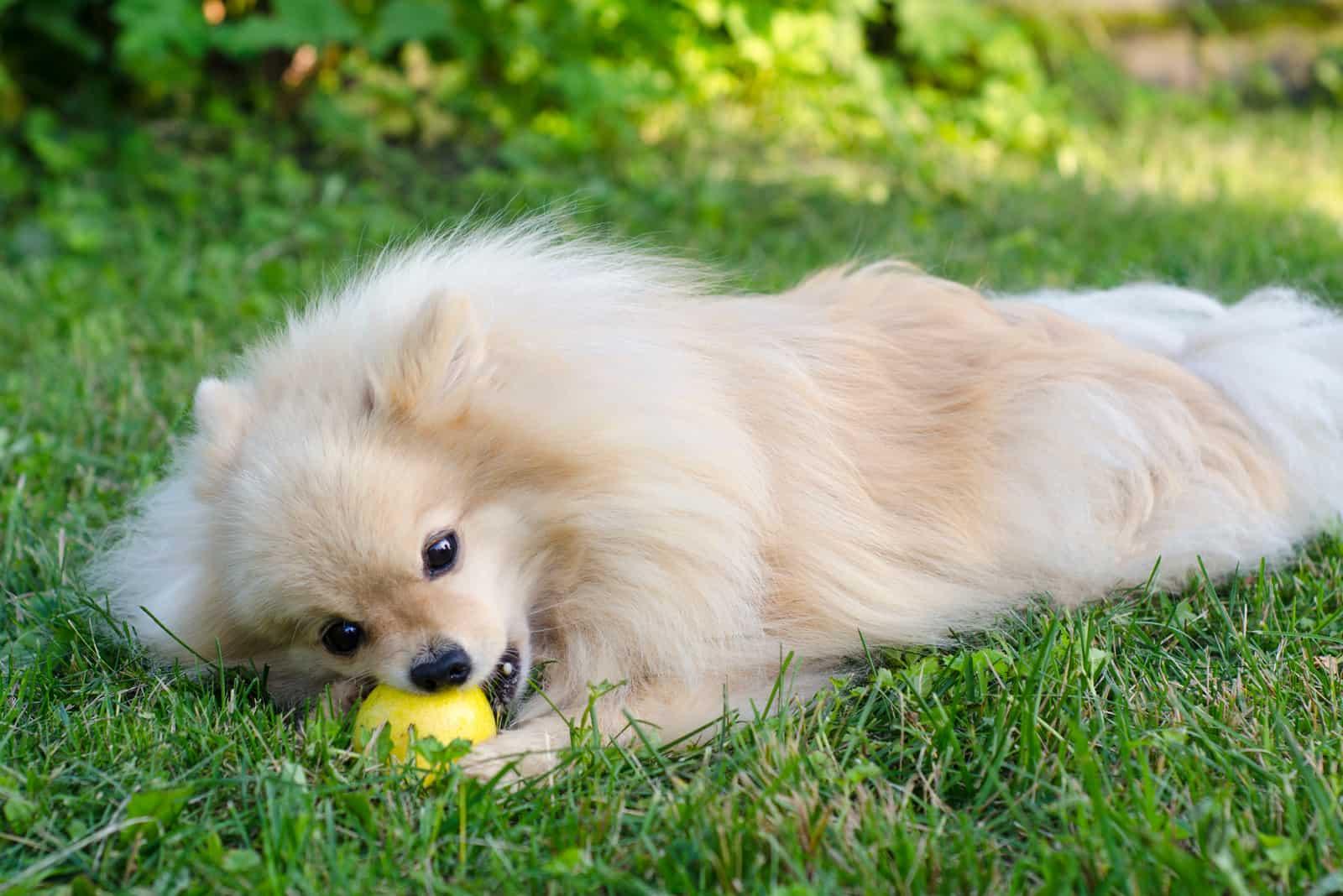 Hund, der auf Gras liegt, das Birne isst