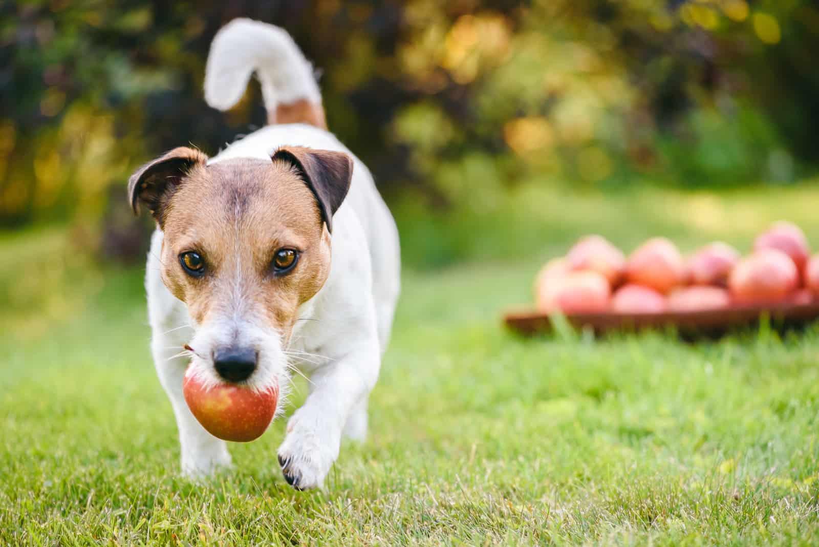 Hund hält Apfel im Mund