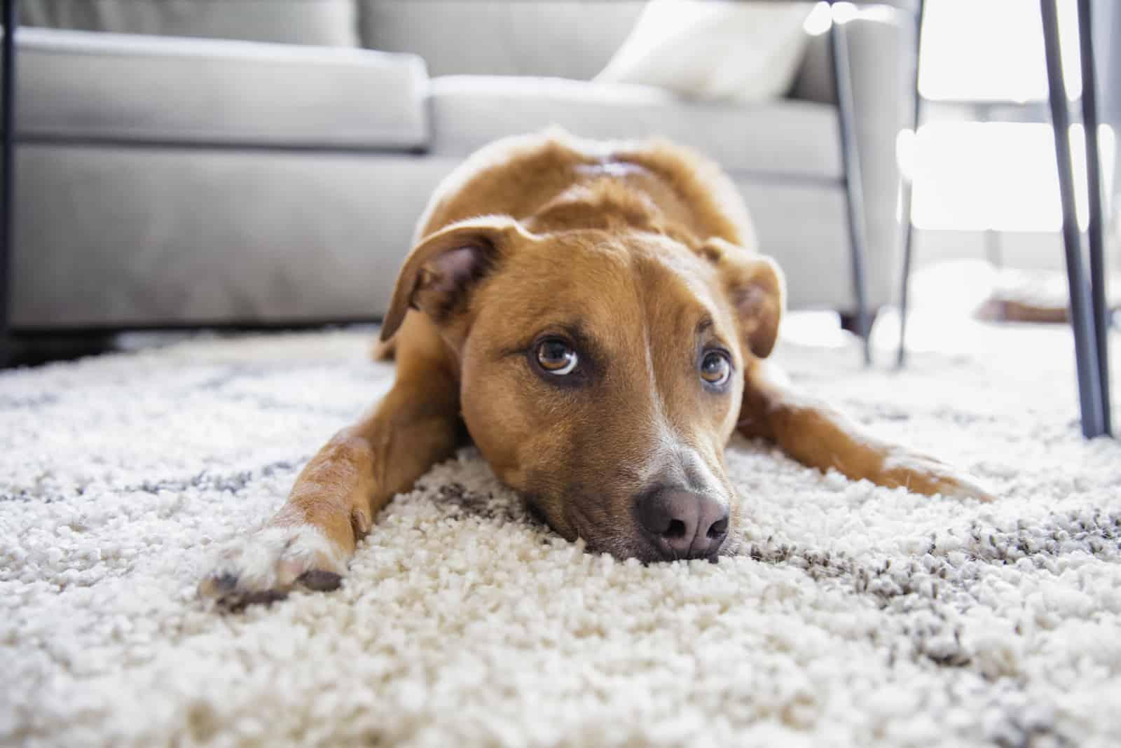 Hund macht lustiges Gesicht auf Shag Teppich Teppich liegen