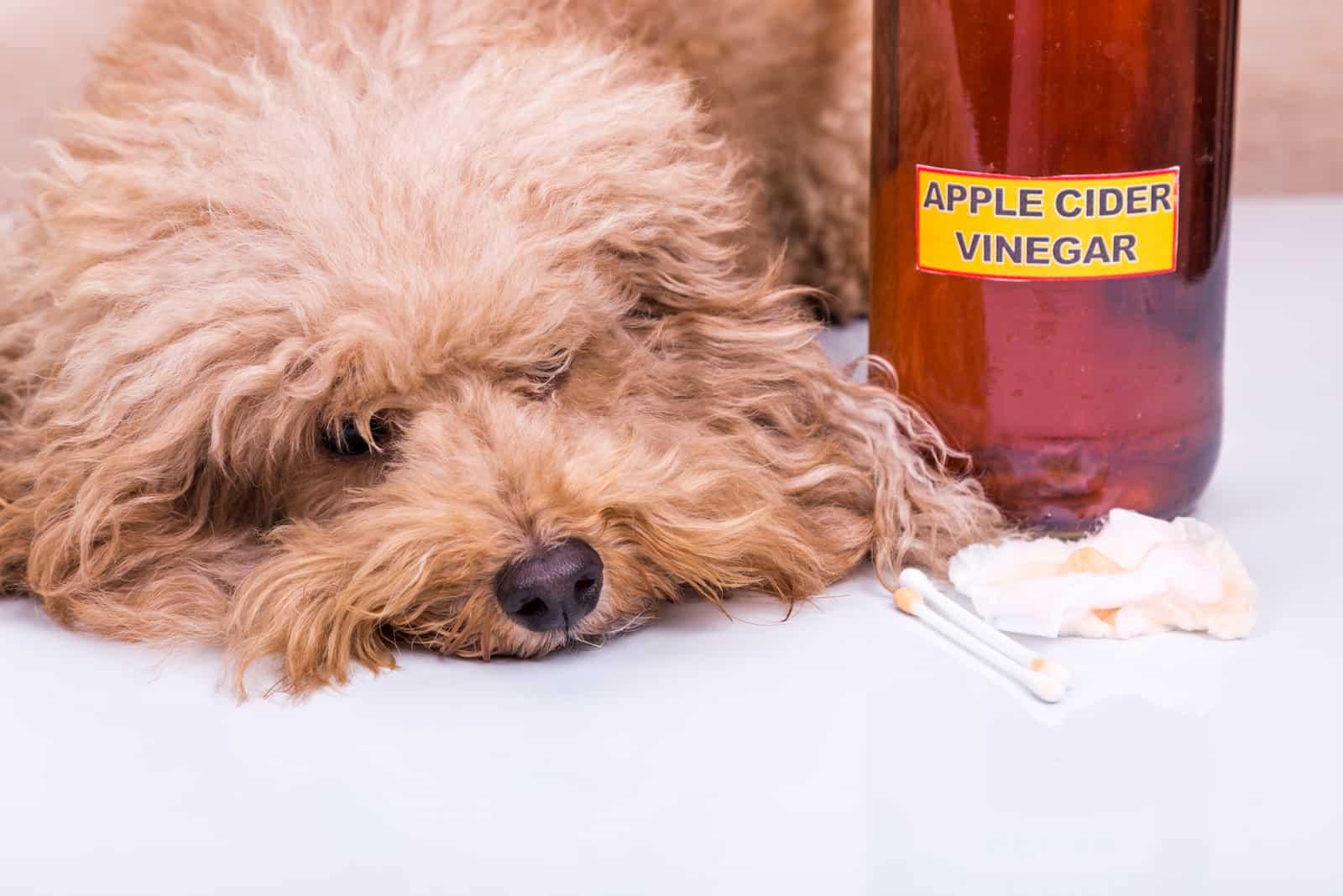 Hund nach ihren entzündeten Ohren wurden mit Apfelessig gereinigt