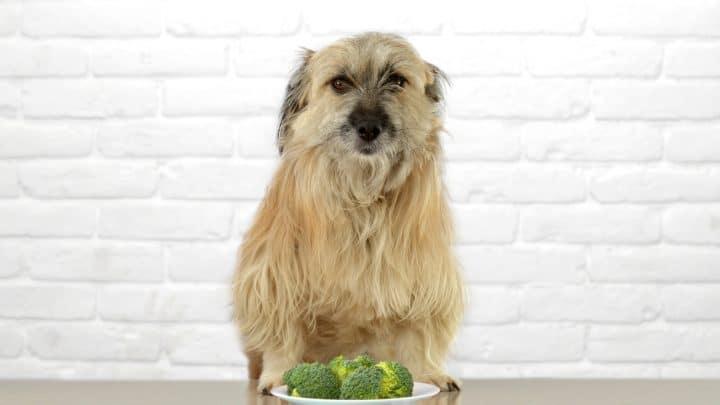 Kohlgemüse im Futternapf: Dürfen Hunde Brokkoli essen?