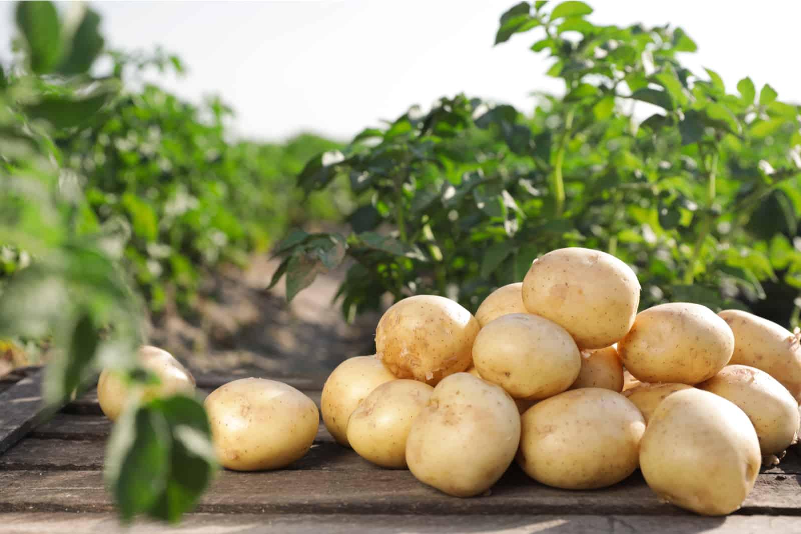 rohe junge Kartoffeln auf dem Feld