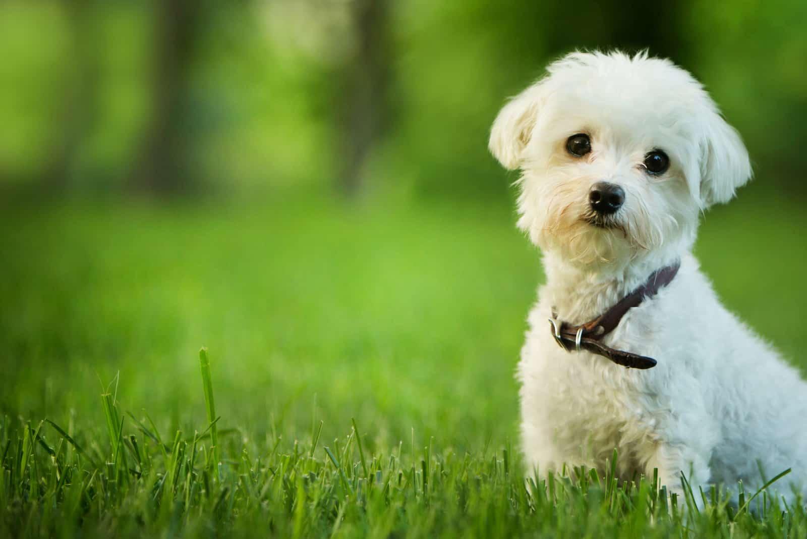 süßer maltesischer Hund, der im Gras sitzt