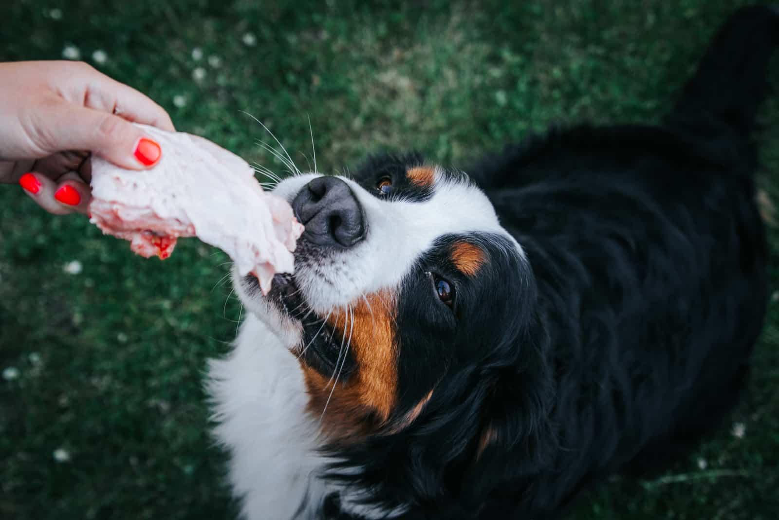 Berner Sennenhund frisst Rohkost
