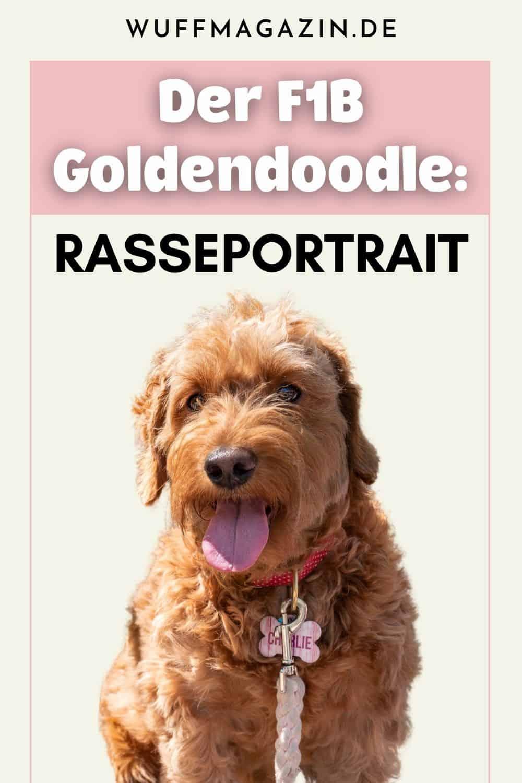 Der F1B Goldendoodle Rasseportrait