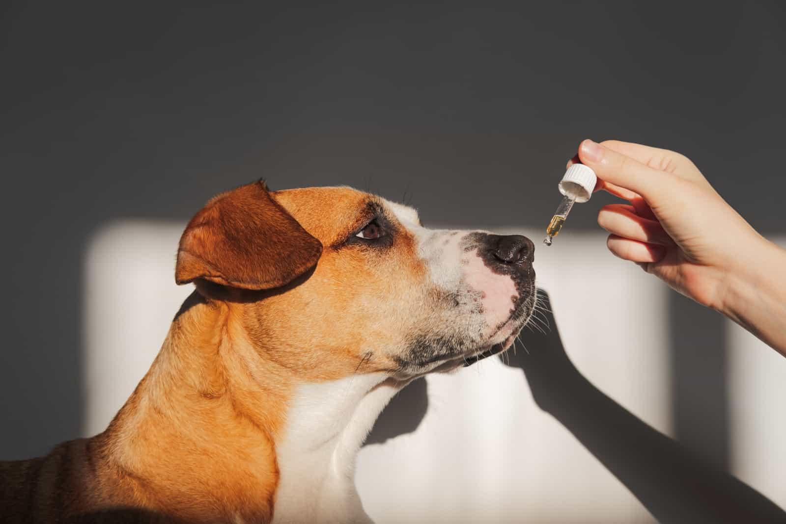 Die Person gibt dem Hund ätherisches Öl