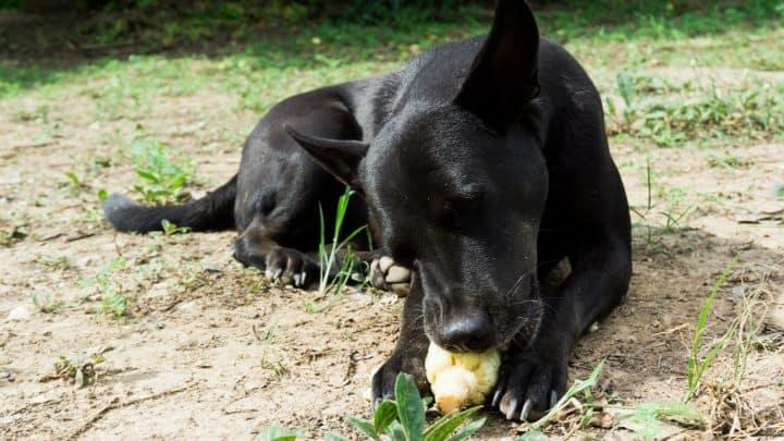 Netter Hund, der gekochten Mais isst