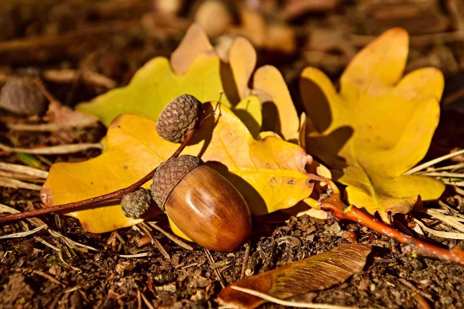 Eichel auf Herbstlaub