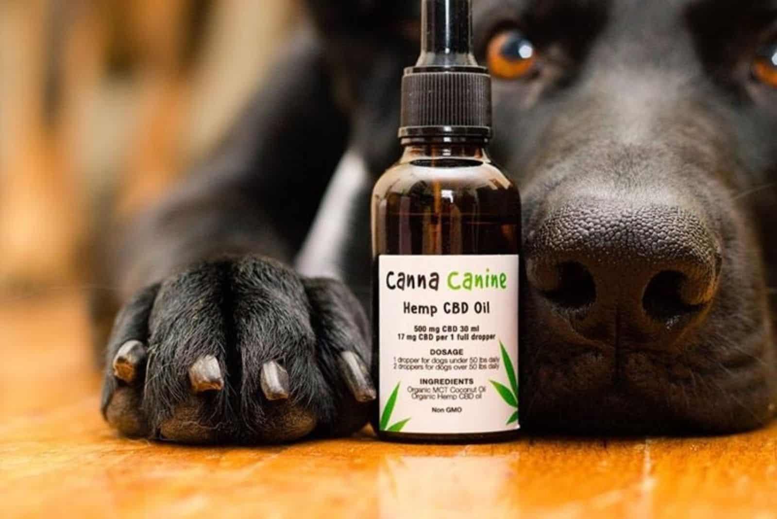 Ein schwarzer Hund lügt und pfoten hält eine Flasche CBD-Öl