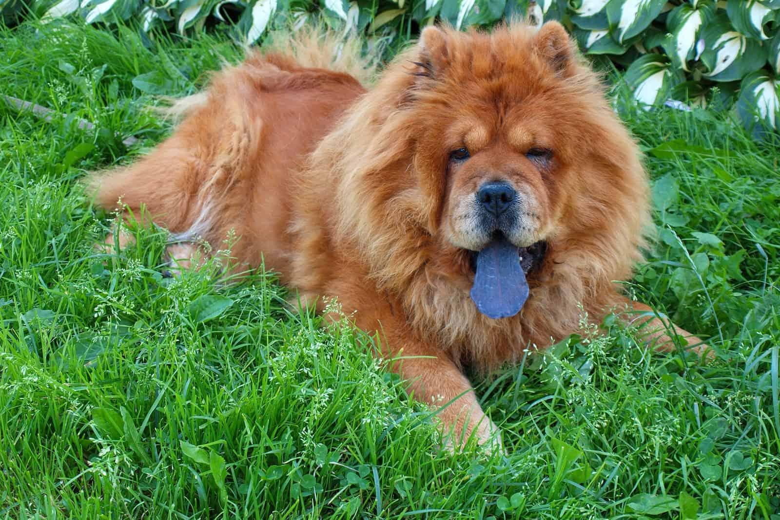 Ein wunderschönes Chow-Chow liegt im Gras