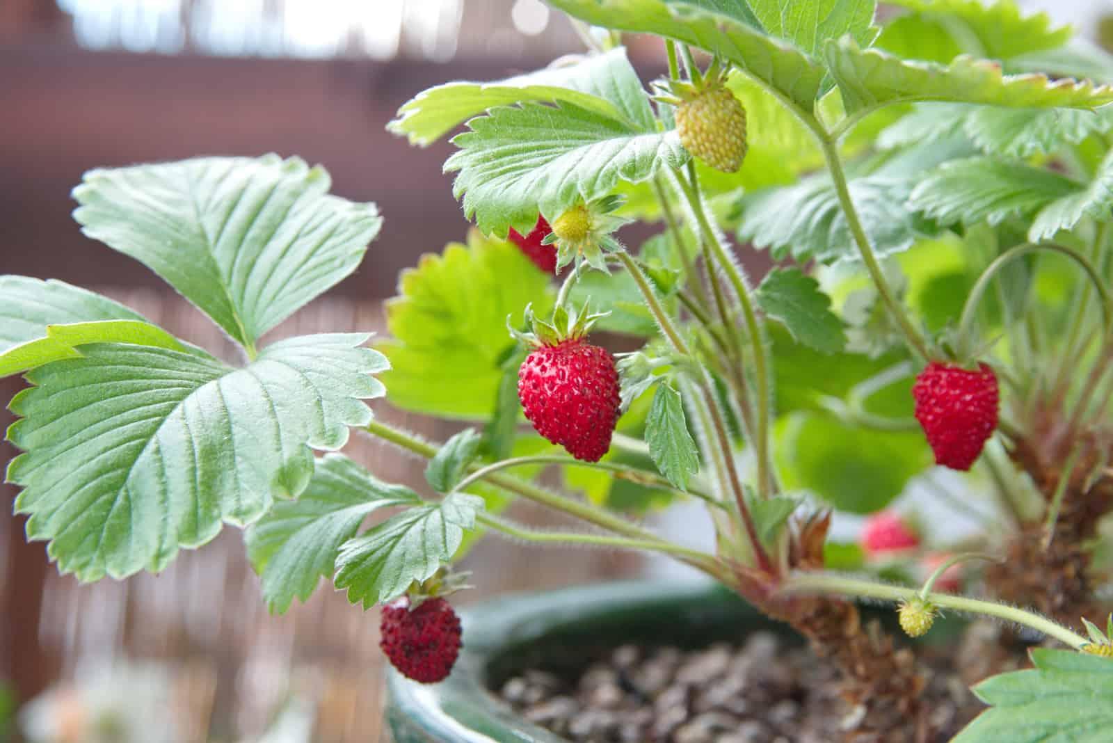 Erdbeerpflanze mit Früchten und Blumen