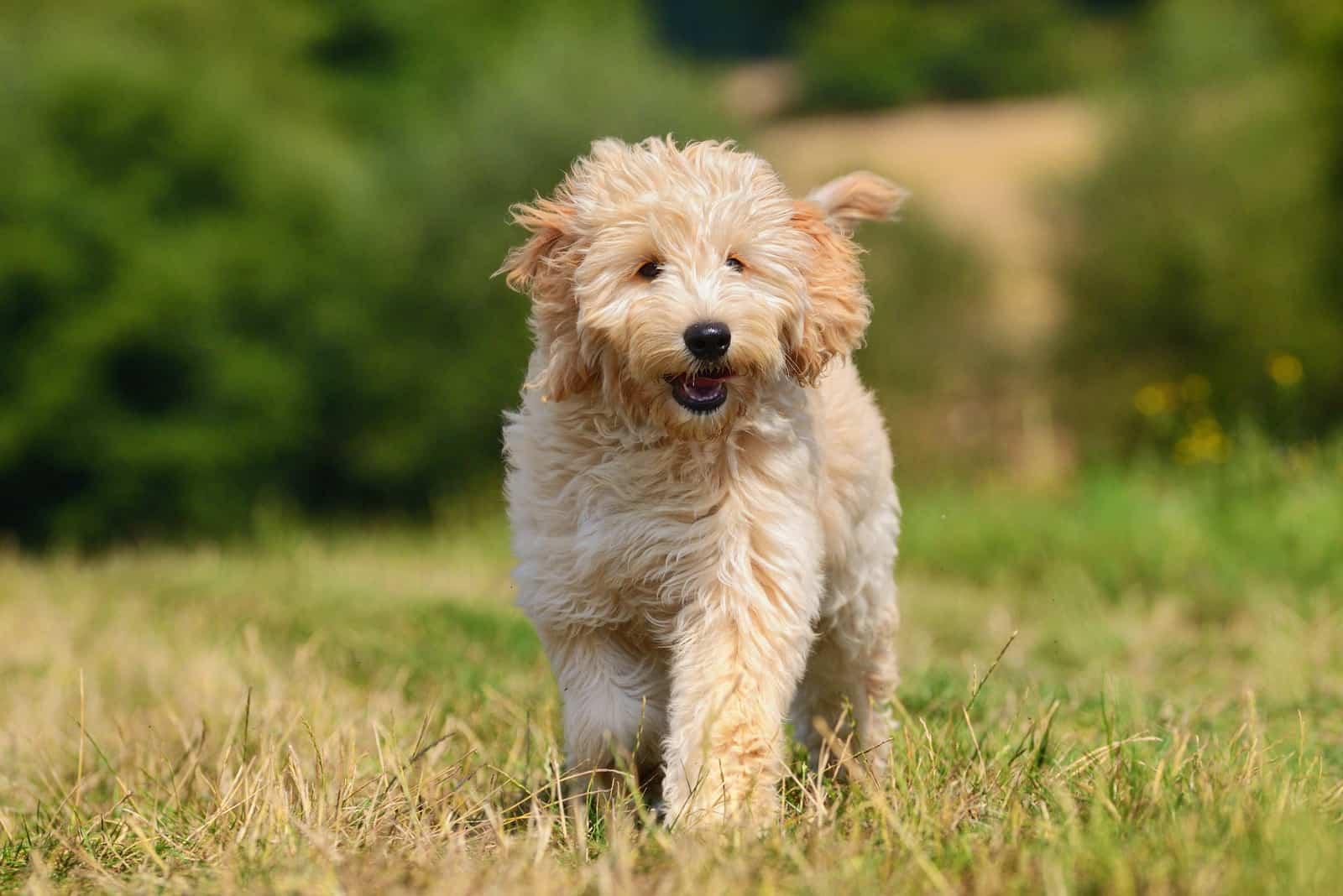 Goldendoodle Dog Welpe draußen auf Gras