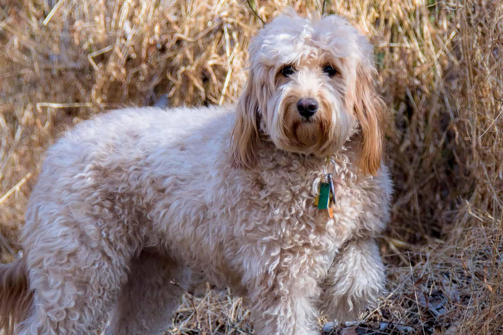 Goldendoodle F1B Hund im Freien