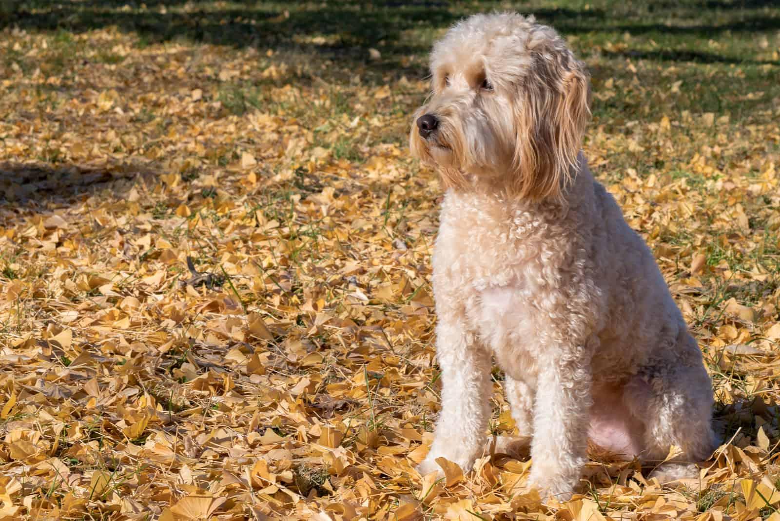 Goldendoodle F1B Hund im Park