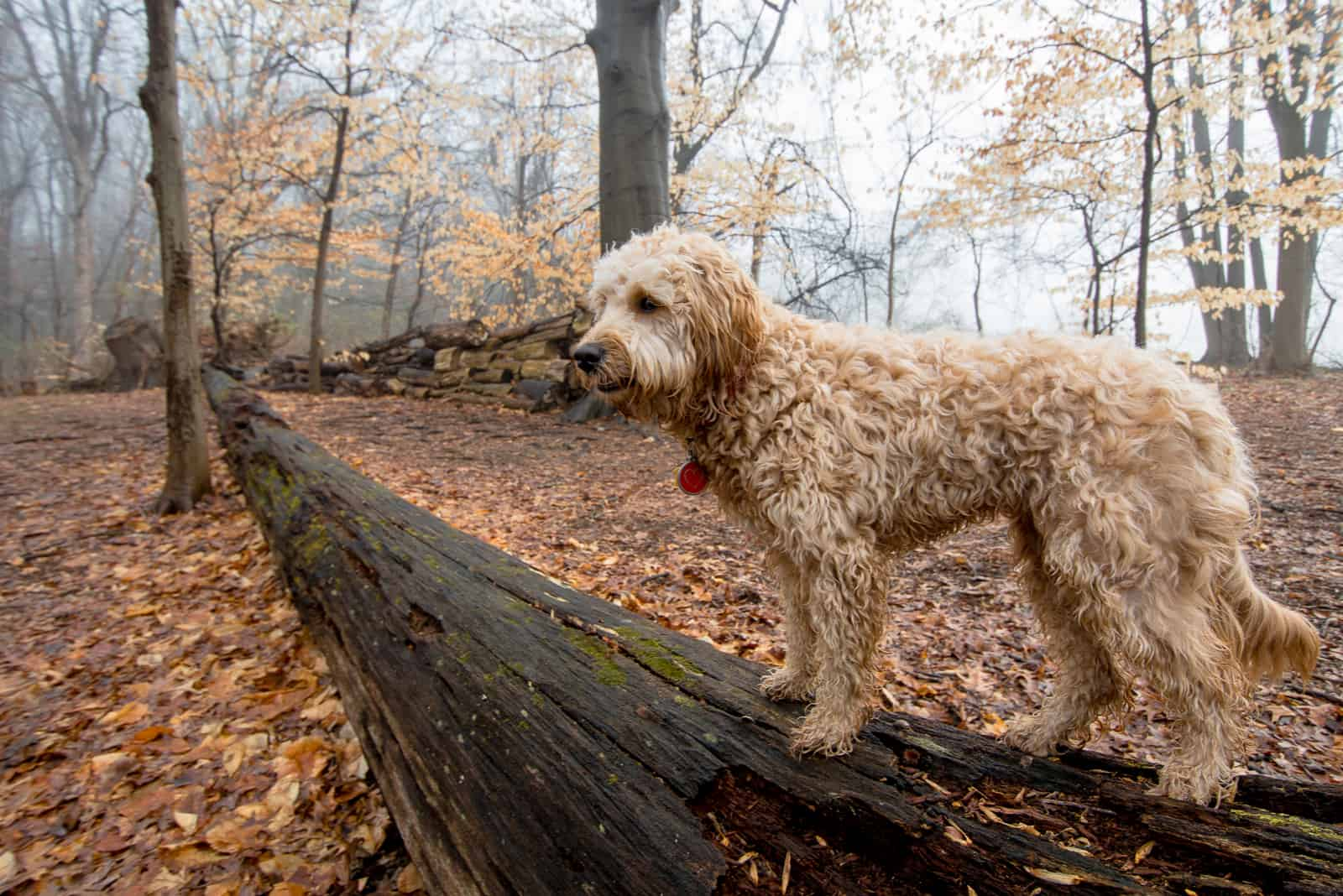 Goldendoodle F1B Hund im Wald
