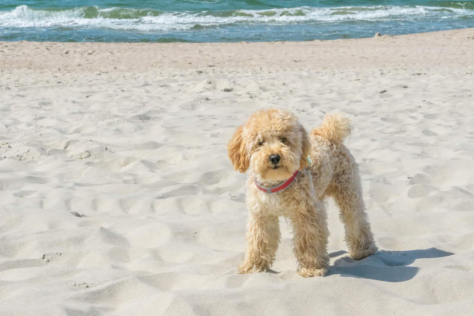 Goldendoodle Hund am Sandstrand