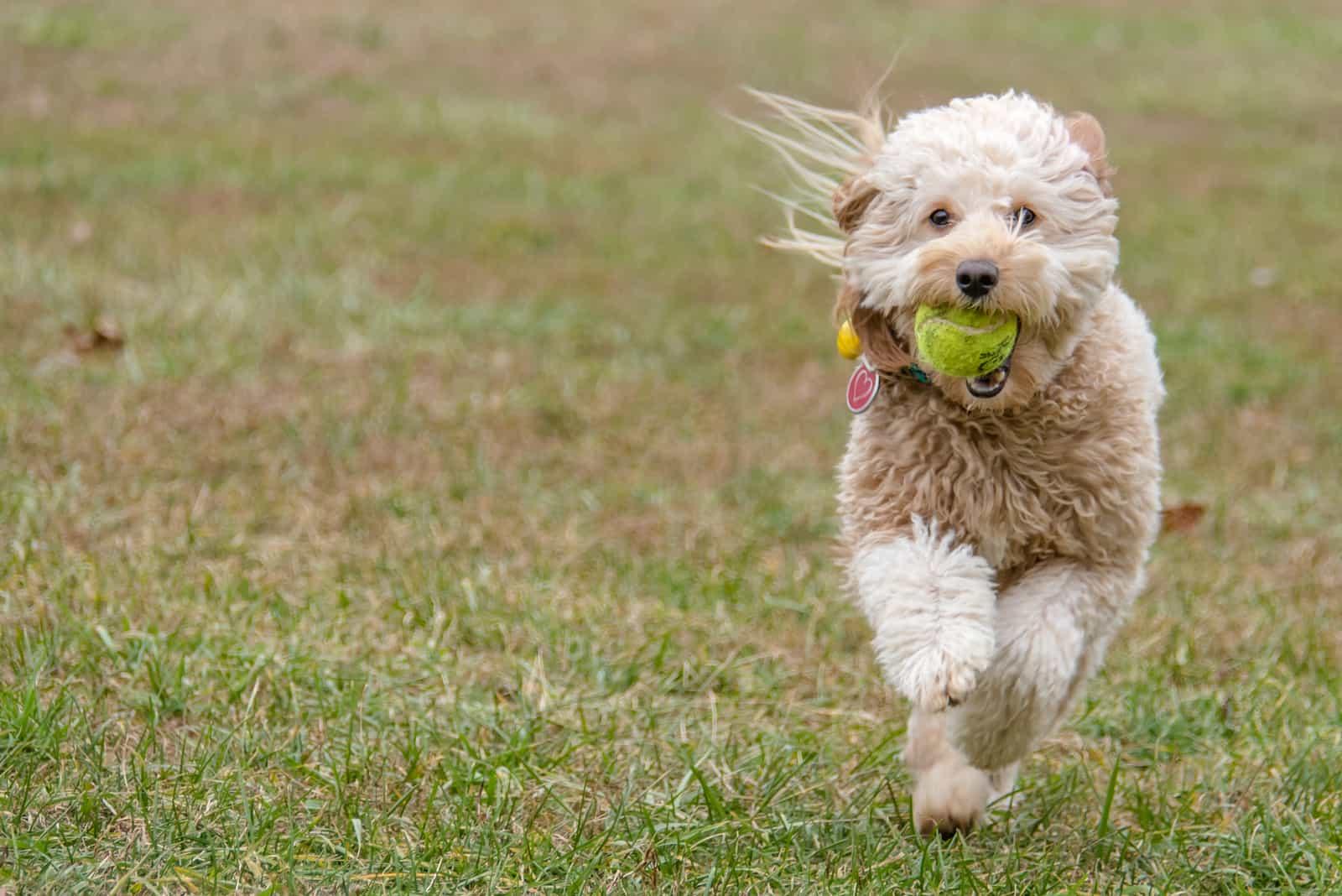 Goldendoodle im Freien