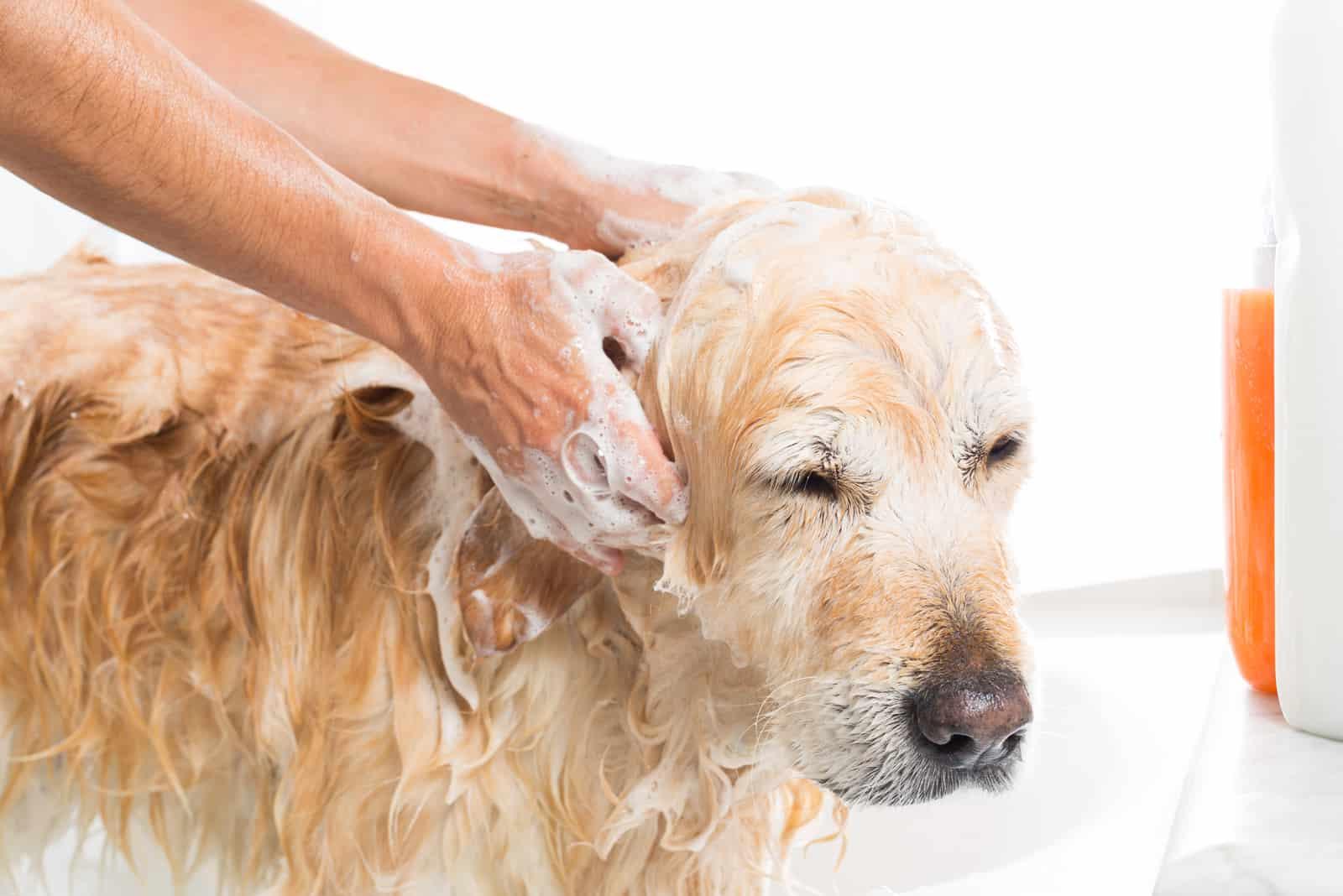 Hund, der mit Wasser und Seife duscht