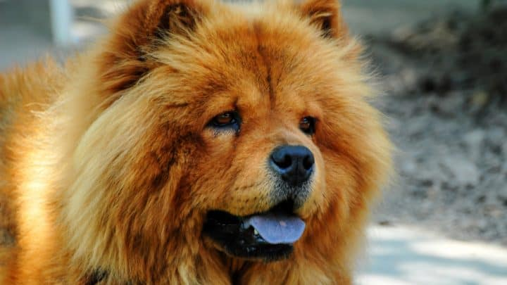 Hund mit blauer Zunge: Rassen und Gründe für die außergewöhnliche Färbung