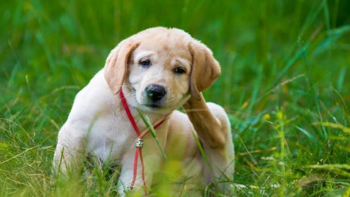 Räude beim Hund: Der Parasitenbefall durch Milben