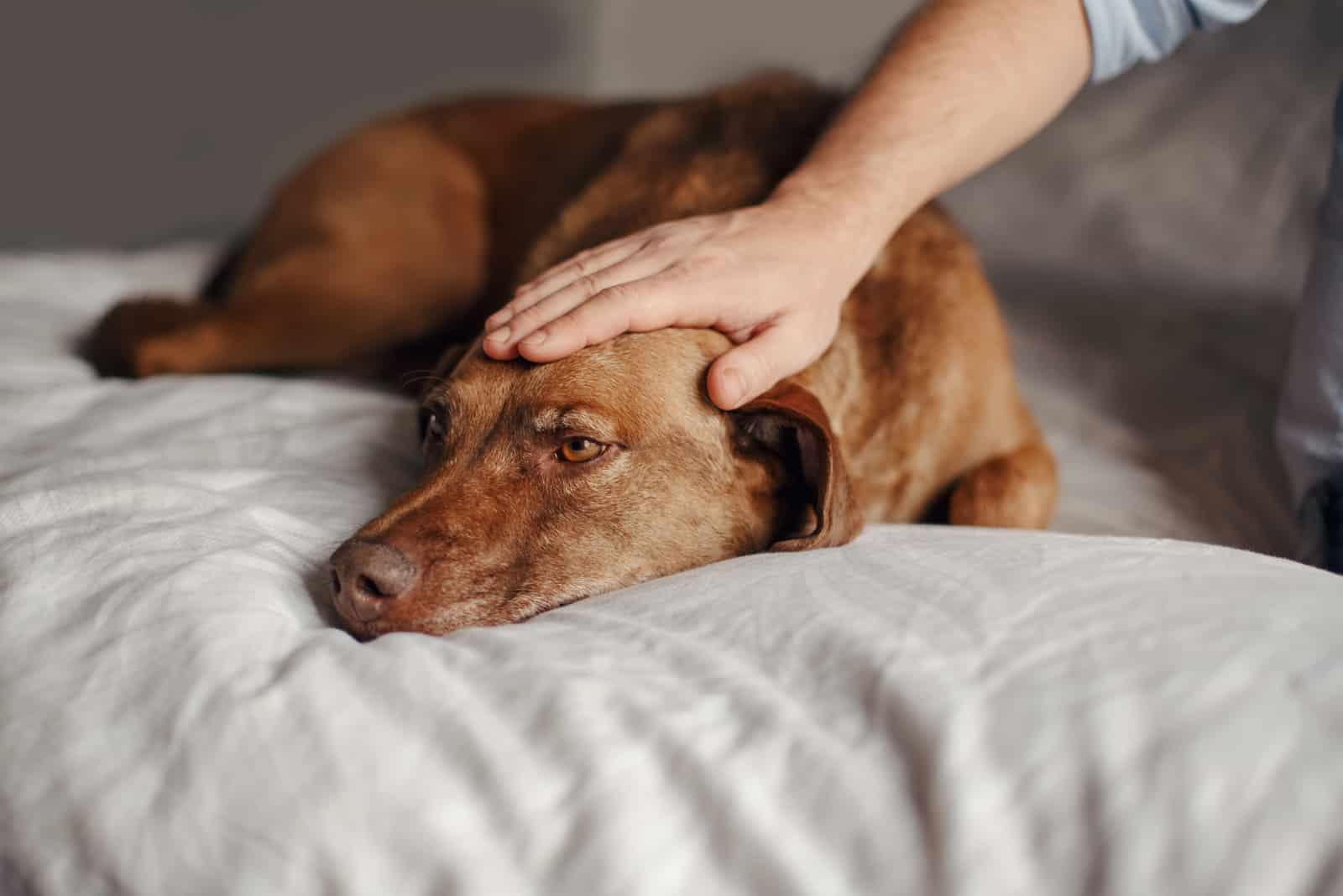 Auf dem Bett streichelt der Besitzer seinen kranken Hund